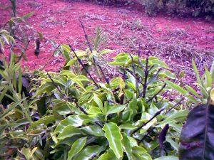 planta com boro