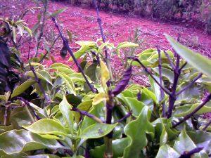 planta com sintomas de deficiência de boro