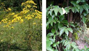 planta cicuta no brasil