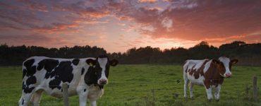 vacas no campo