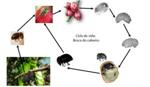 Ciclo de vida da Broca do cafeeiro