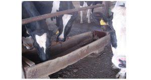 Vacas se alimentando no cocho