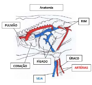 Estrutura anatômica do umbigo