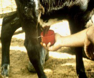 cuidados com vacas e bezerros antes e após o parto