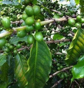 Deficiência de magnésio no café