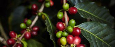 café maduro e verde