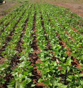 plantação de feijão