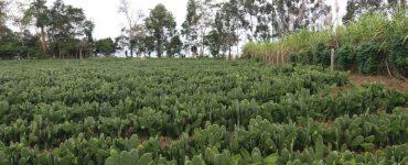 plantação de palma forrageira