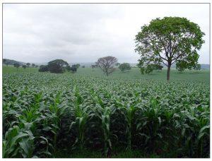 Lavoura de milho para silagem na Região de Sete Lagoas
