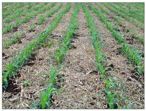 Área de milho sob plantio direto