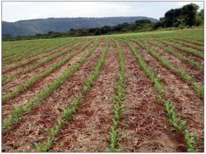 Áreas de milho sob plantio direto