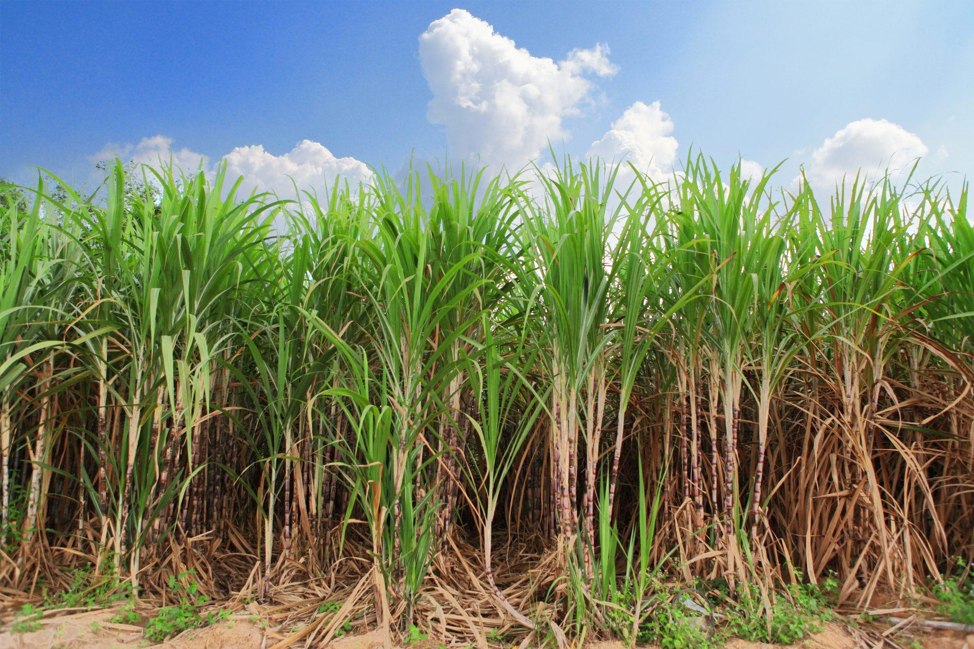 Cana-de-açúcar: Uma cultura de fácil condução | Rehagro