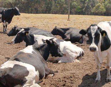 vacas deitadas estresse térmico