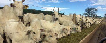 alimentação de bovinos de corte