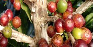 manchas amareladas nos frutos