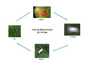 ciclo do bicho mineiro