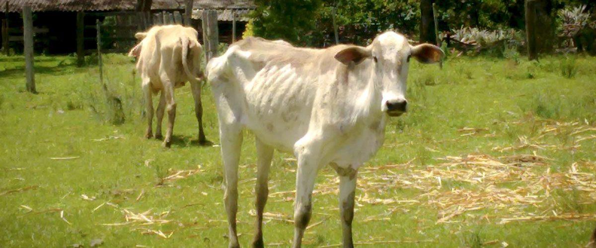 Tripanossomose em bovino