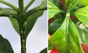 cochonilha-verde