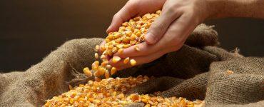 mão segurando um punhado de milho
