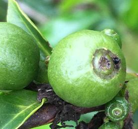 Broca realizando orifício na região da coroa dos frutos