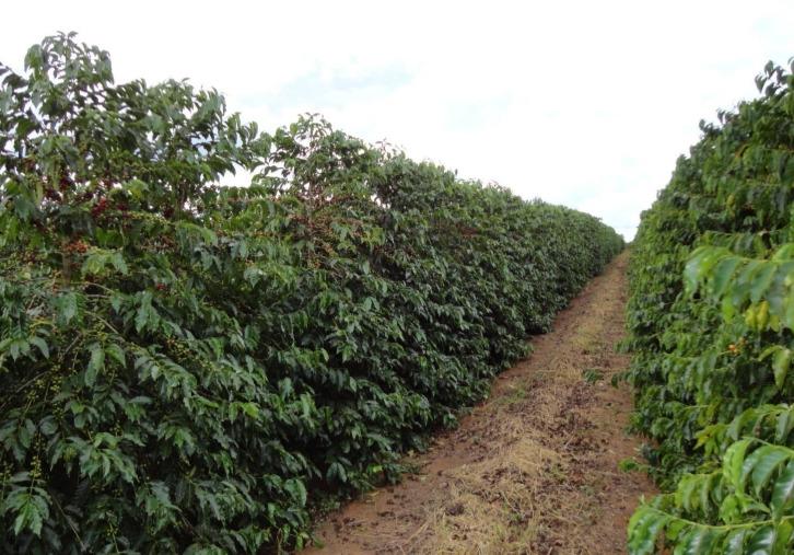 Cultivares de café
