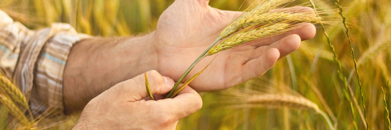 origem do trigo
