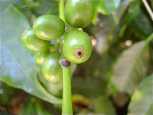 pragas e doenças no café