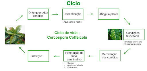 Cercosporiose