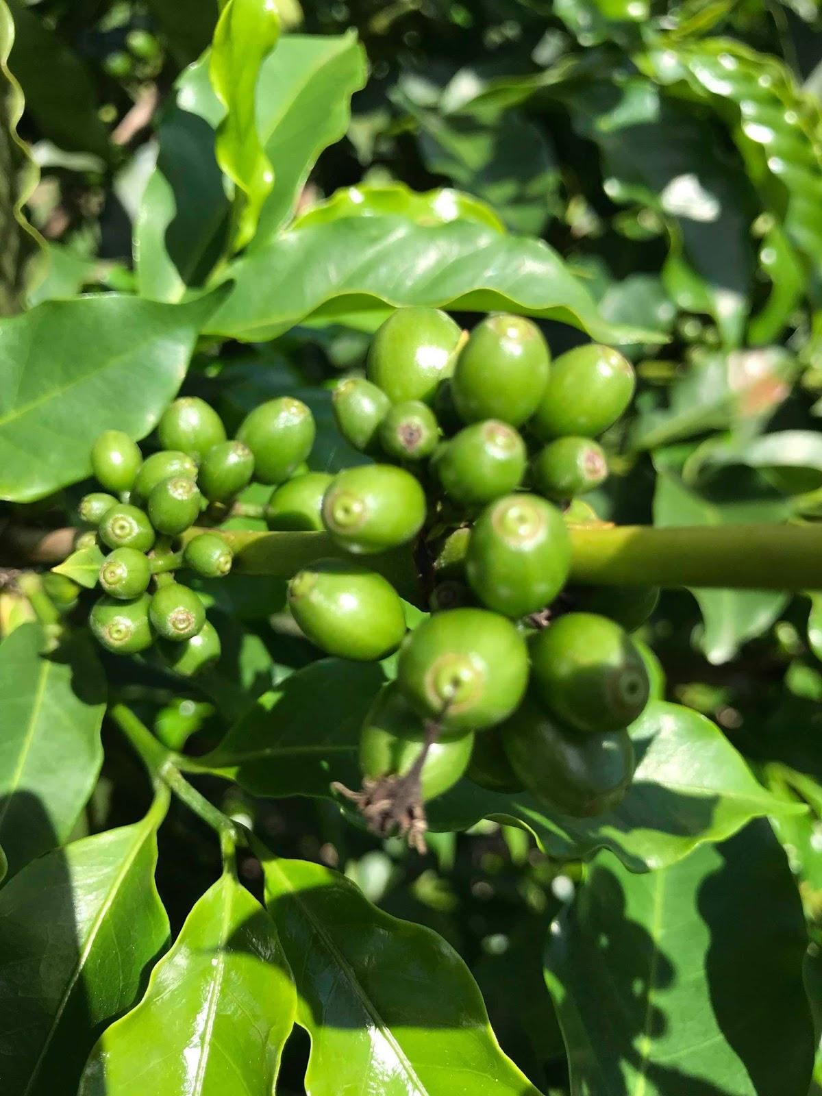 Fenologia do café