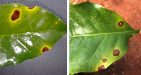 Mancha Aureolada e Cercosporiose