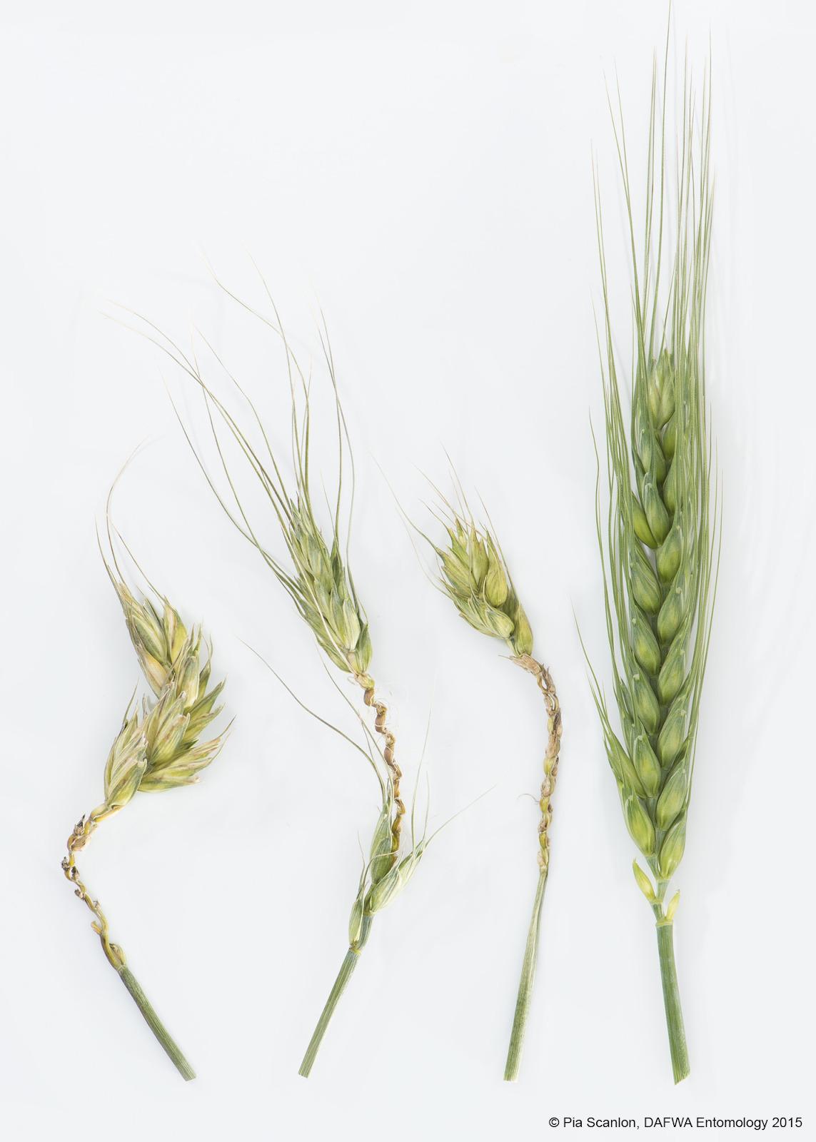 Giberela no trigo